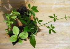 Asiatische Heilpflanzen