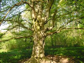 Baummagie und die Aura eines Baumes