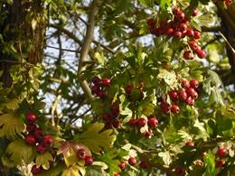 Früchte Weißdorn