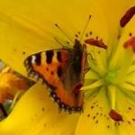 Helfertiere Schmetterlinge