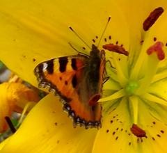 Helfertier Schmetterling