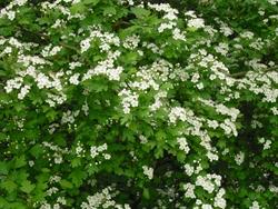 Baummagie Weißdorn
