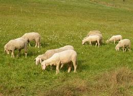 Wie ein Schaf in der Herde